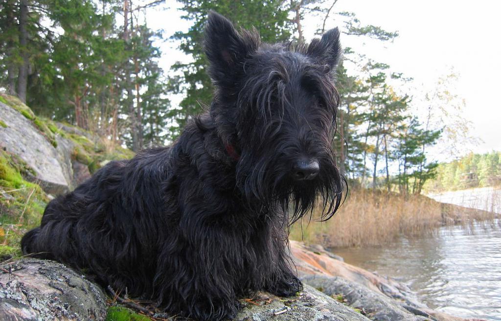 охотничья норная собака