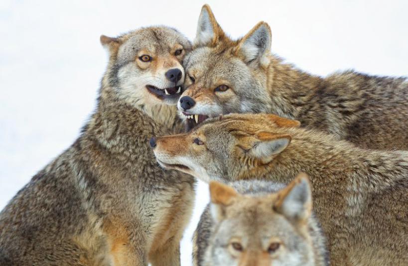 Стая койотов