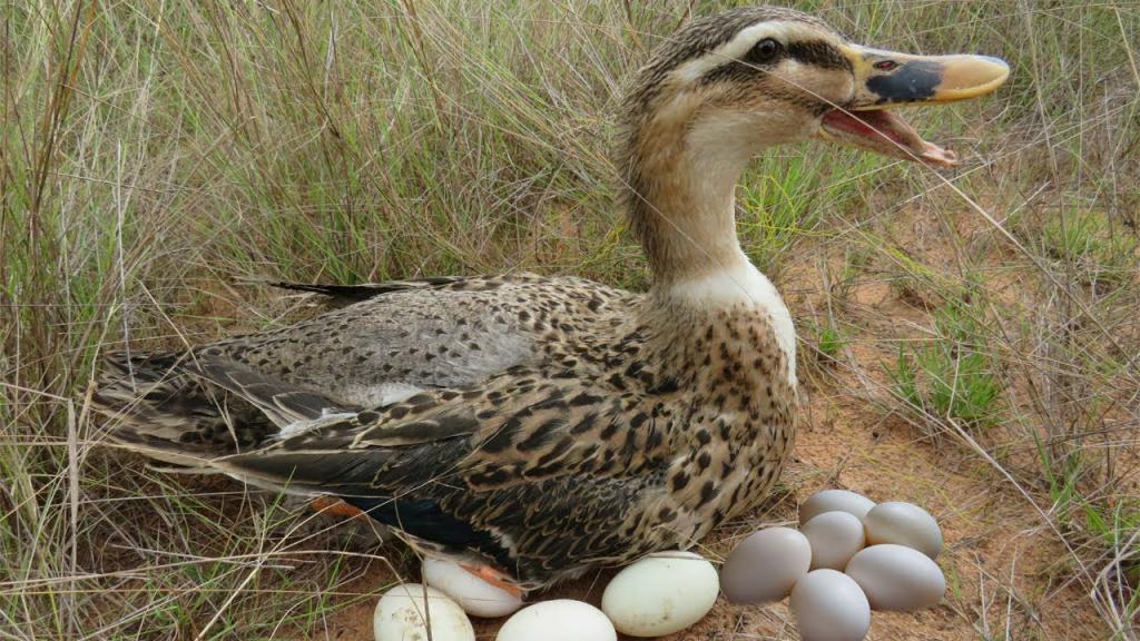 Как поймать дикую утку ловушка для диких уток