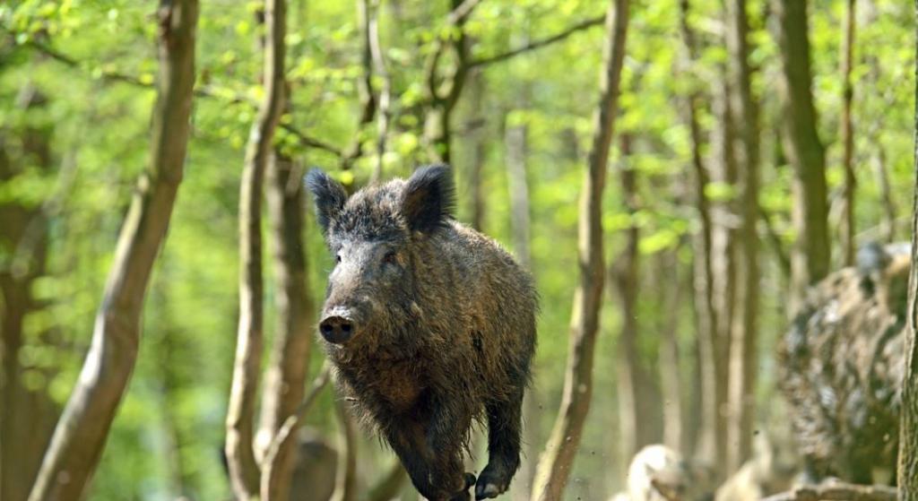 Кабан в лесу