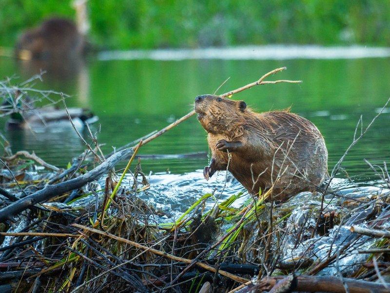 Охота на соболя устройство ловушек приманки сезон охоты и необходимое снаряжение