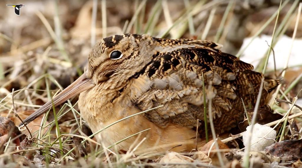 Вальдшнеп посреди сухой травы.