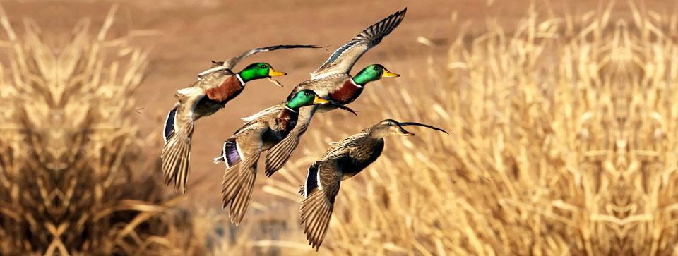 Лицензия на охоту на уток: порядок получения, сроки, советы