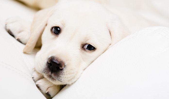 глистогонить щенка перед прививкой