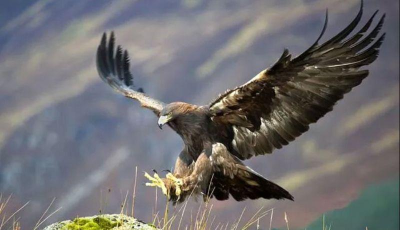 Королевский орел или беркут