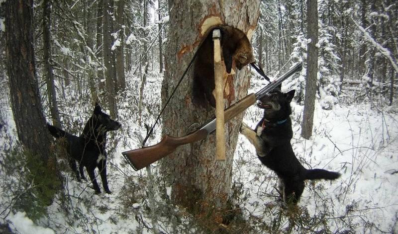 Охота с лайкой на куницу: как натаскать лайку?