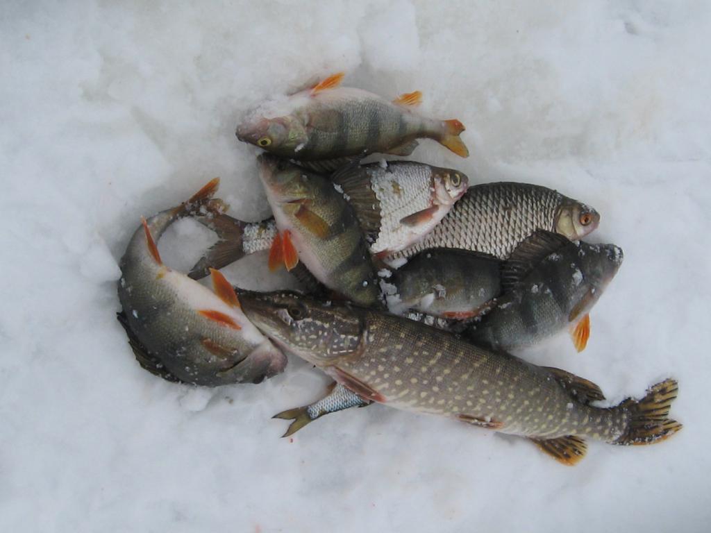 Улов на зимней рыбалке.