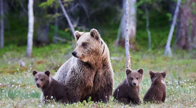 Опасайтесь медведицы с малышами