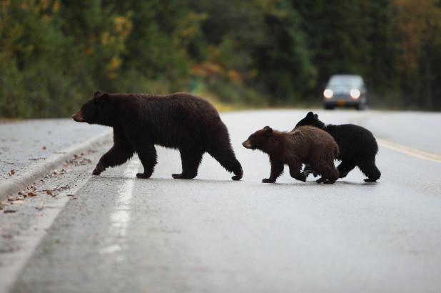 Медведя можно встретить практически везде