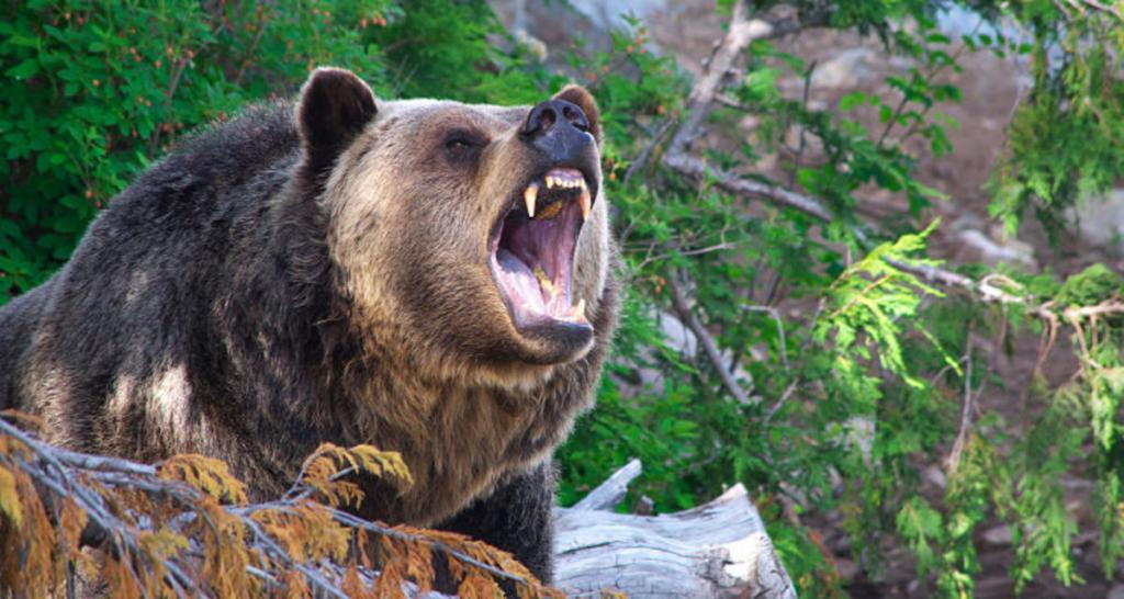 Как медведь убивает человека? Как правильно вести себя при нападении медведя