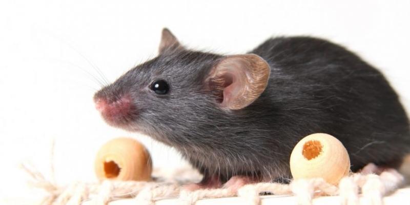 Домашняя мышь